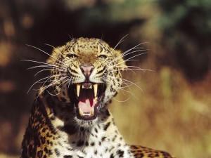 Leopardo enfurecido