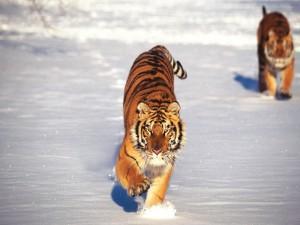 Tigres caminando por la nieve