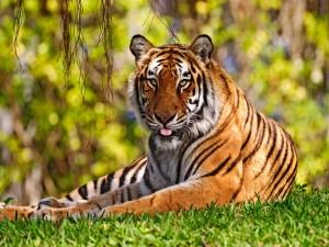Un tigre sacando la lengua