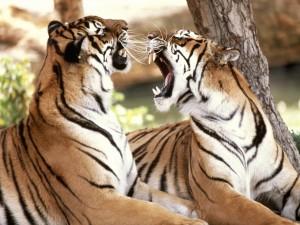 Dos tigres enfadados