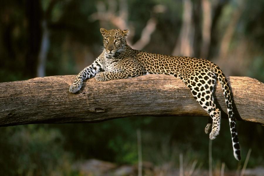 Leopardo descansando sobre un tronco