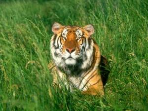 Tigre tumbado en la hierba
