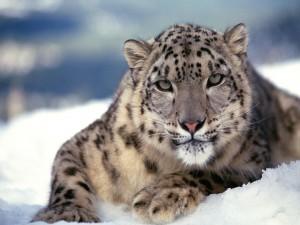 Mirada de un leopardo de las nieves
