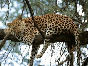 Leopardo acomodado en las ramas de un árbol