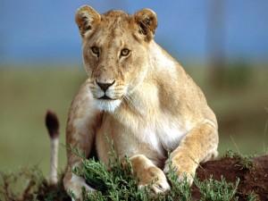 Una leona