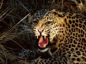 Un leopardo enseñando los colmillos