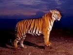 Un bonito tigre
