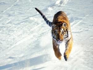 El salto de un tigre