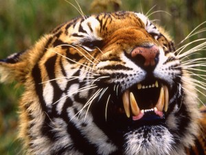 Los grandes colmillos de un tigre