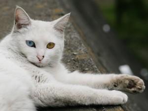Gato con un ojo azul y otro naranja