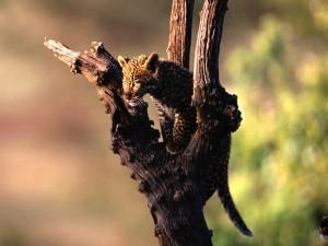 Pequeño leopardo sobre un árbol