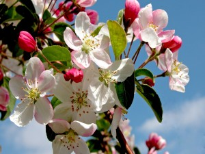 Rama cubierta con flores de manzana