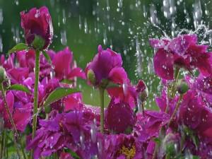 Gotas de lluvia sobre peonías color púrpura