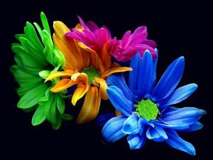 Crisantemos coloridos