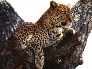 Leopardo observando desde un árbol