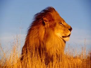 Un hermoso león