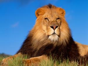 León con larga melena