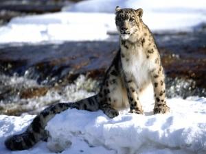 Un leopardo de las nieves mirando con atención