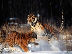 Unos tigres peleando sobre la nieve