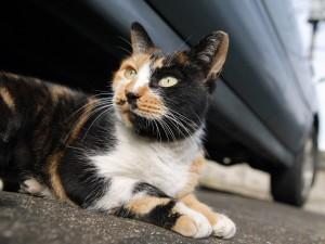 Un gato tricolor tumbado bajo un coche