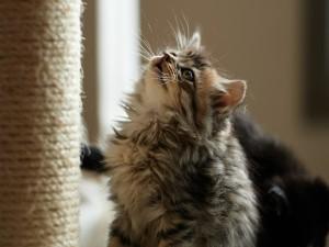 Gatito junto a su rascador