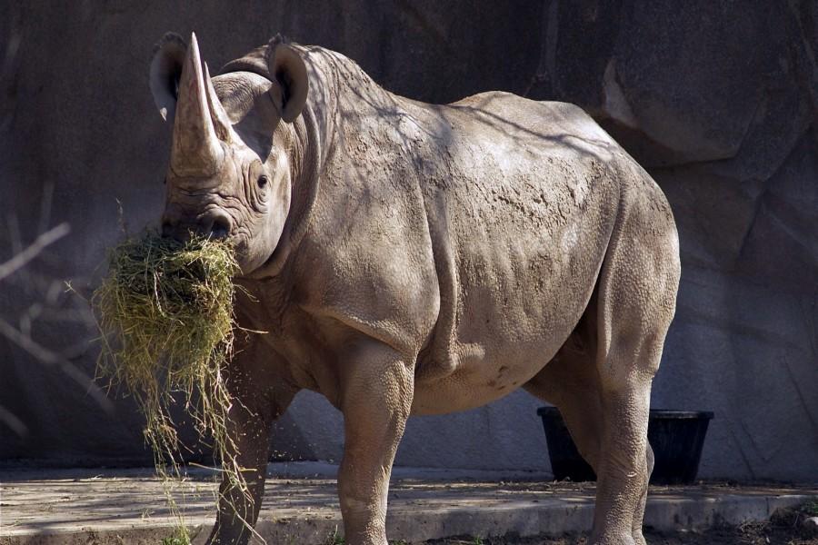 Rinoceronte comiendo hierba