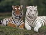 Tigres con distinto pelaje