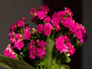 Kalanchoe con flores rosas