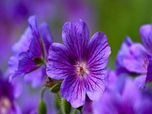Geranio salvaje color púrpura