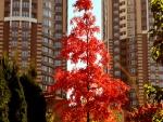 Un árbol con hojas otoñales en la ciudad