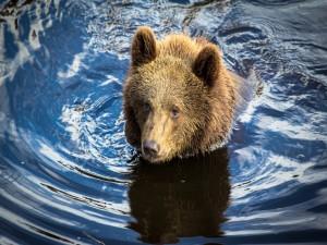 Cachorro de oso en el agua