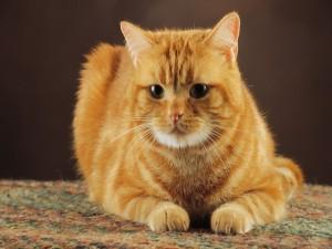 Un bonito gato anaranjado