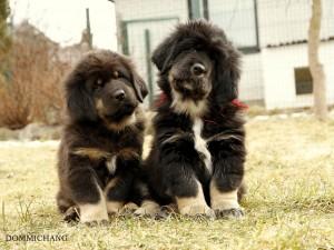 Dos cachorros de Mastín tibetano