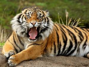 Joven tigre mostrando los colmillos