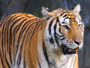 Tigre visto de cerca