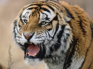 Tigre sin colmillos