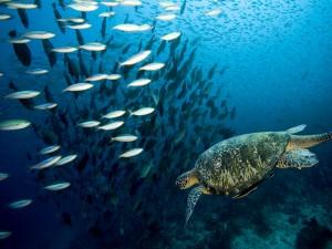 Tortuga nadando junto a un banco de peces
