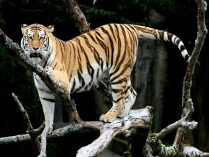 Tigre sobre las ramas de un árbol