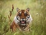 Tigre entre las plantas