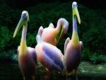 Pelícanos con plumas color arcoíris