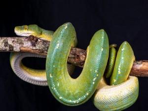 Serpiente pitón enroscada en una rama
