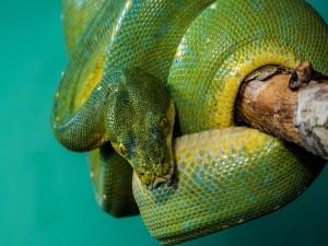 Impresionante serpiente pitón
