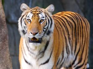 Tigre mirando fijamente
