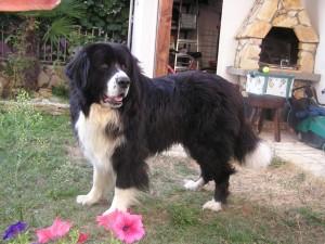 Un Mastín tibetano en el jardín