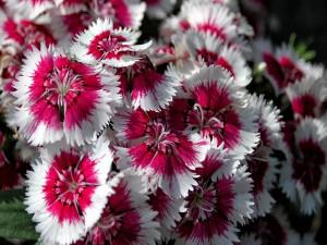 Hermosas flores blancas con el centro de color fucsia
