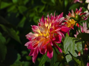 Magníficas dalias adornando la planta
