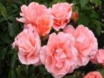 Bellas rosas de color rosa