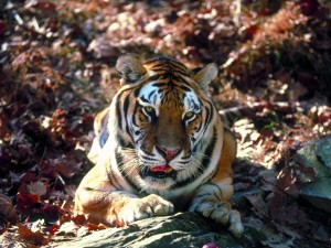 Tigre sobre una roca