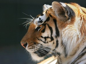 Perfil de un tigre
