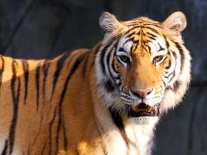 Sol sobre la cara del tigre